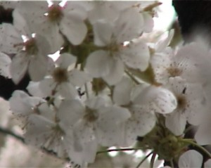 Cherry Tree video by Vincent Eaton